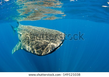 Whale Shark (rhincodon typus), the biggest fish in the ocean, a huge gentle plankton filterer giant,  swimming near the surface. Mexican caribbean. - stock photo