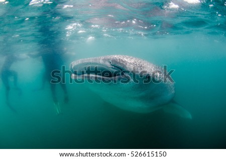 Whale Shark (rhincodon typus), the biggest fish in the ocean, a huge gentle plankton filterer giant,  swimming near the surface. La Paz Baja California Sur, Mexico