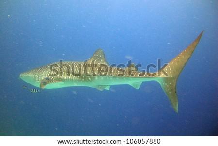 Whale shark (Rincodon typus) - stock photo
