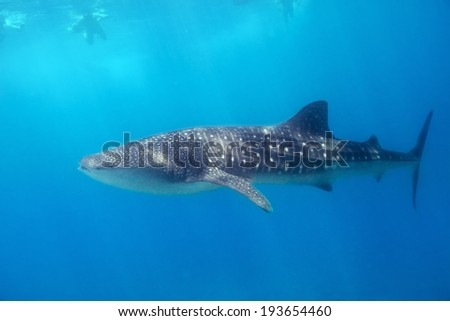 Whale shark swimming in turquoise water of Indian ocean at Maldives - stock photo