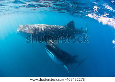 Whale shark swimming through a cloud of plankton and krill filtering the water for food. - stock photo