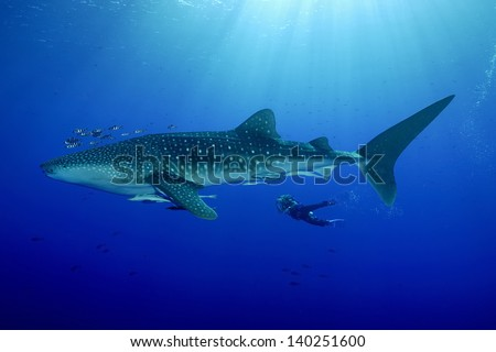 whale shark with diver - stock photo