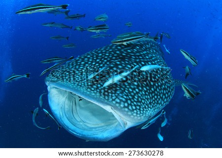 Whale Shark with mouth open - stock photo