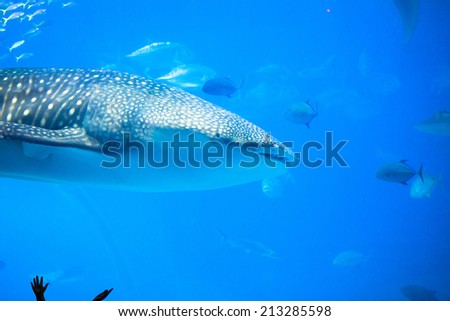 Whale sharks swimming in aquarium with observing man�s hand