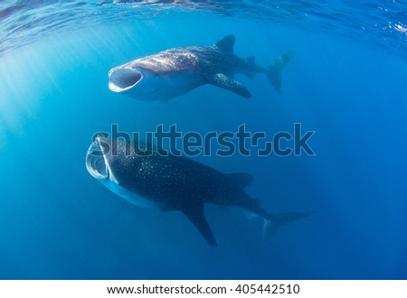 Whale sharks with wide open mouth swimming through a cloud of krill and plankton filtering the water for food. - stock photo