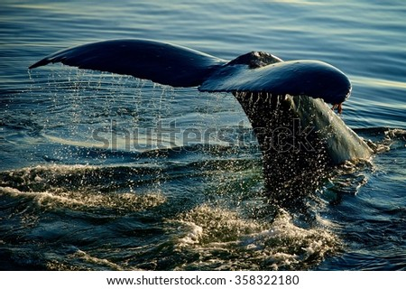 Whale Tail in Alaska - stock photo