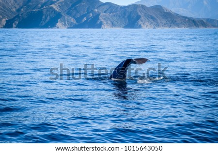 Whale tail in Kaikoura bay, New Zealand