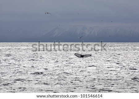 Whale tail in the waters outside Reykjavik, mountains in the background - stock photo