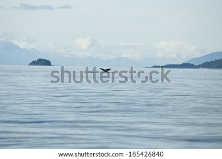 Whale watching adventure from Juneau Alaska - Marine life - Travel Destination - Humpback whale tail / Travel Destination - Whale Watching Adventure - stock photo