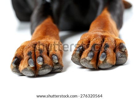 What manicure. Close up of front legs of dog on white isolated background - stock photo