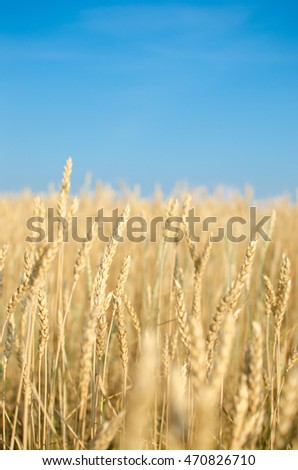 Wheat against the blue sky.
