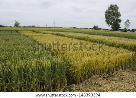 wheat and barley field - stock photo