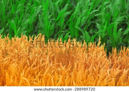 Wheat and Corn Fields - stock photo