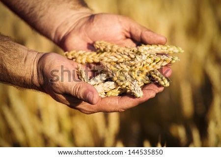 Wheat and hands - stock photo