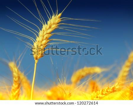 wheat close-up - stock photo