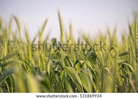 Wheat close-up photo - stock photo
