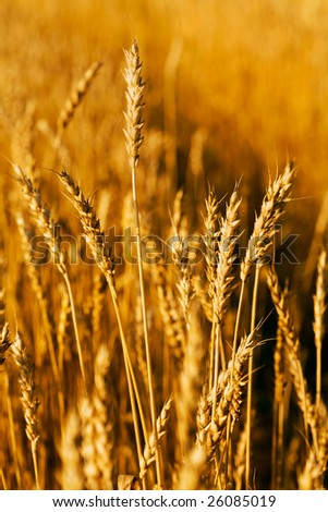 Wheat closeup