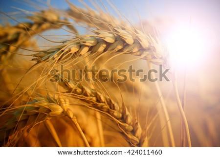 wheat closeup - stock photo