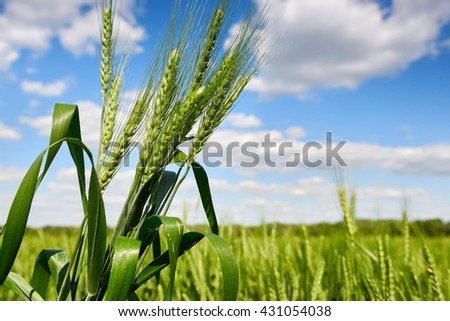 wheat closeup, spring landscape, green field and blue cloudy sky - stock photo