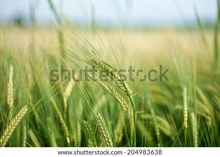 Wheat crops on a green field - stock photo