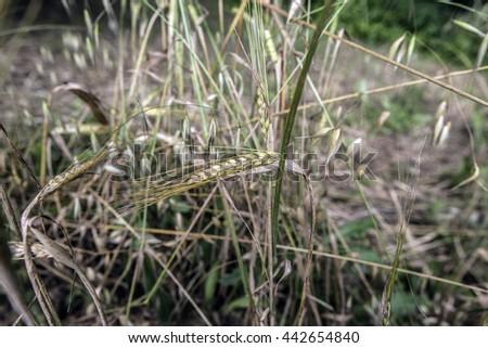 Wheat ear - stock photo