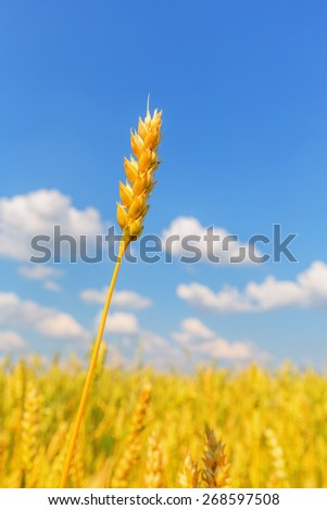 Wheat ear on a background of field and cloudy sky - stock photo