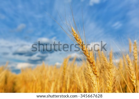 Wheat ear on a background of field and cloudy sky (shallow dof) - stock photo