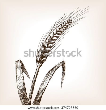 Wheat ear sketch style raster illustration. Old engraving imitation. Wheat hand drawn sketch imitation - stock photo