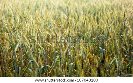 Wheat ears agains blue sky with selective focus - stock photo