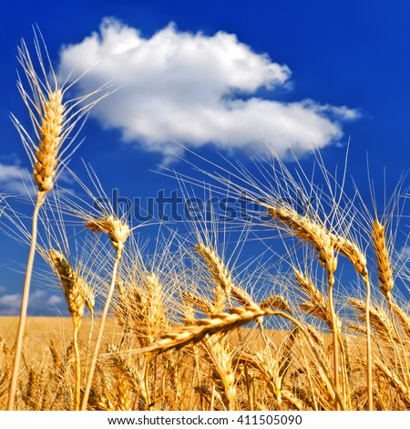 Wheat ears against a blue sky in hot summer day - stock photo
