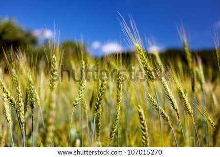 Wheat ears against blue sky with selective focus - stock photo
