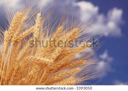 Wheat ears against the blue cloudy sky