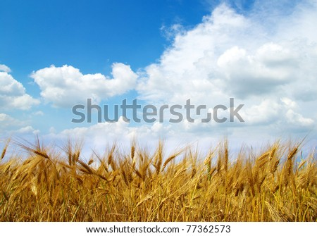 Wheat ears against the blue  sky