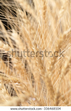 wheat ears as background