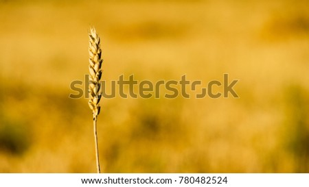 Wheat ears close up