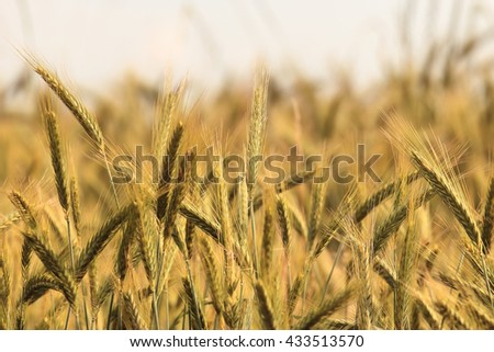 Wheat ears crop at summer time