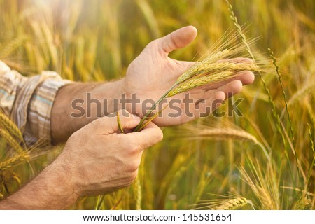 Wheat ears in farmer hands close up on field background - stock photo