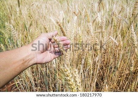 Wheat ears in farmer hands. Harvest