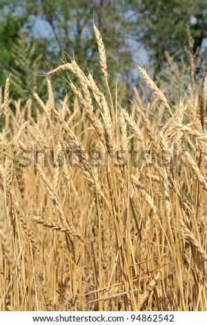 Wheat ears in the field - stock photo