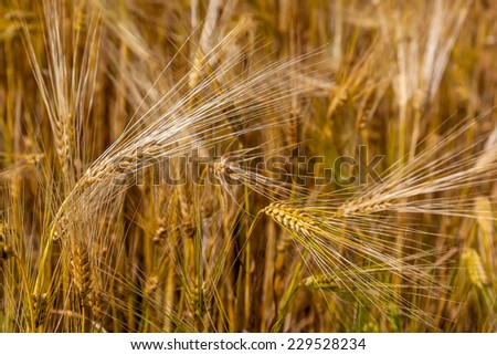 Wheat ears in the field as background. - stock photo