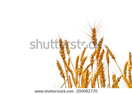 Wheat ears in the field on white background with copy space. Agricultural cultivated wheat field. - stock photo