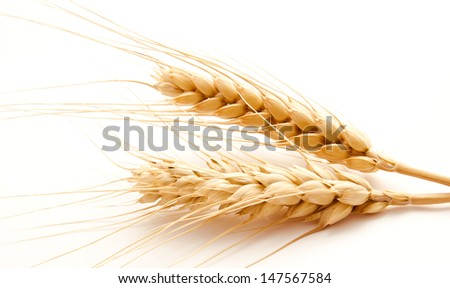 Wheat ears isolated on a white background
