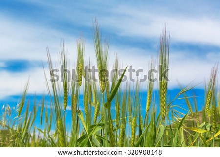 Wheat ears natural spring field background blue sky