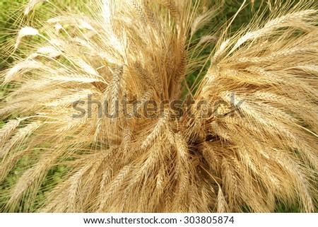 wheat / ears of corn / still life - stock photo