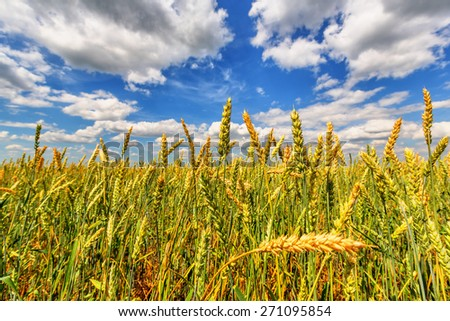 Wheat ears on a background of blue cloudy sky - stock photo