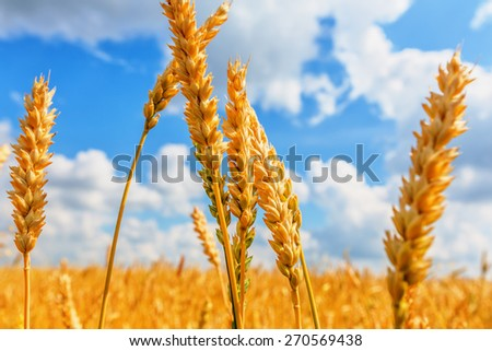 Wheat ears on a background of field and cloudy sky - stock photo