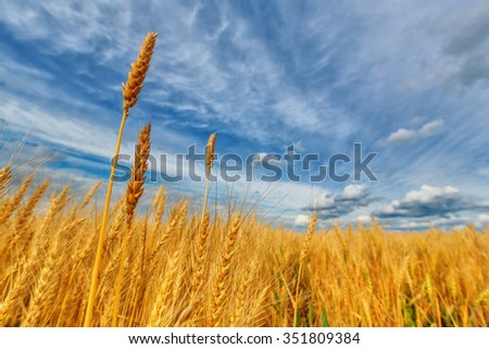 Wheat ears on a background of field and cloudy sky (shallow dof)