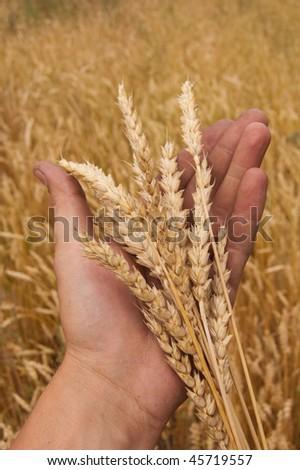 Wheat ears on a man's hand. A crop. - stock photo