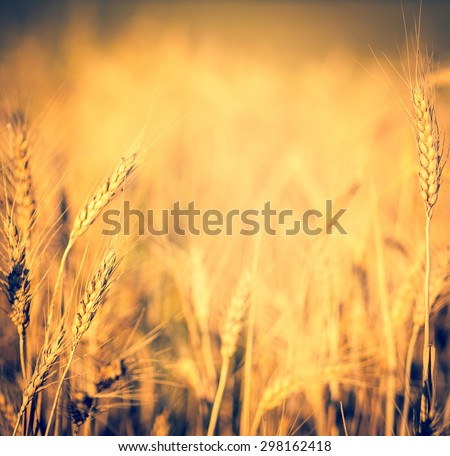 Wheat ears on the field closeup with soft light effect. Organic food - cereal plants in soft focus. Wheat field with bokeh blur and copy-space for your text in centre.  - stock photo