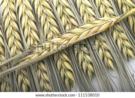 wheat ears on the white background - stock photo